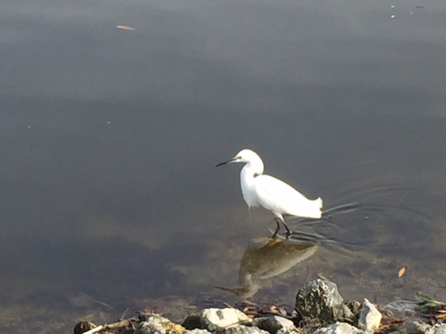 Egret walking along Redwood Shores Lagoon.